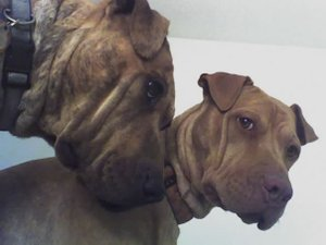 Wrinkle_dogs